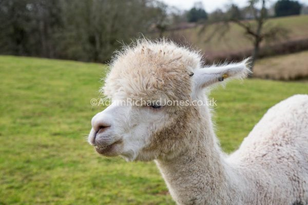Alpaca Portrait Photography Worcestershire