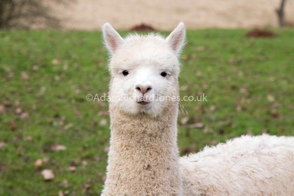 Alpaca Portrait Photography Herefordshire